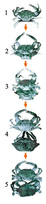 moulting-crab